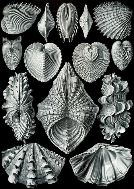 Art Prints of Acephala, Plate 55 by Ernest Haeckel