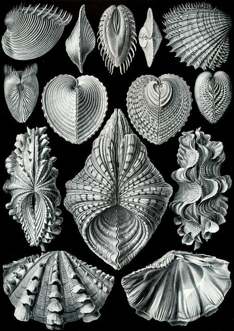Art Prints of Acephala, Plate 55 by Ernest Haeckel