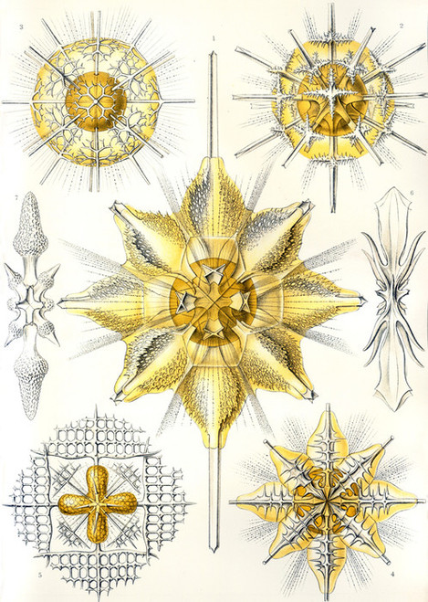 Art Prints of Acanthometra, Plate 21 by Ernest Haeckel