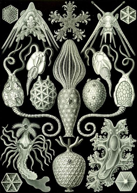 Art Prints of Amphoridea, Plate 95 by Ernest Haeckel