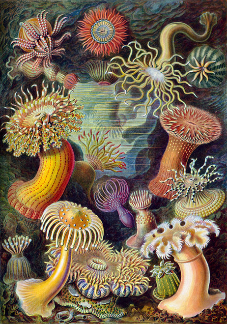 Art Prints of Actiniae, Plate 49 by Ernest Haeckel