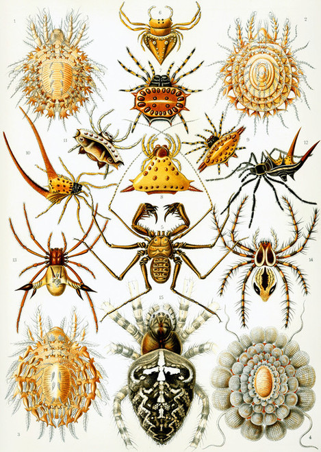 Art Prints of Arachnida, Plate 66 by Ernest Haeckel