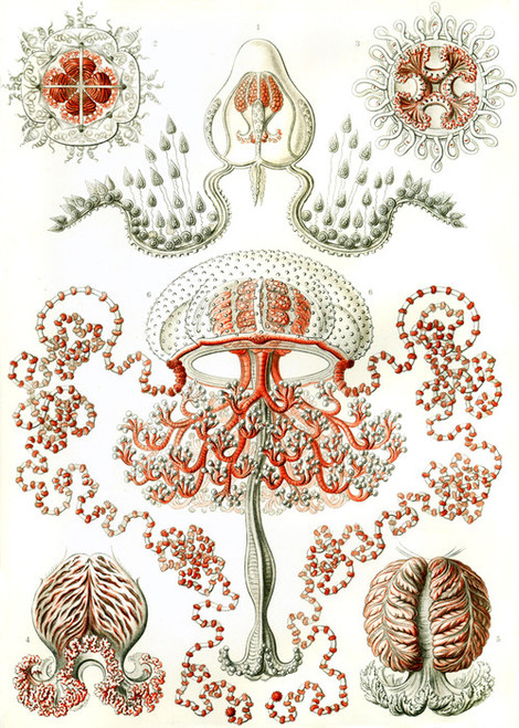 Art Prints of Anthomedusae, Plate 46 by Ernest Haeckel