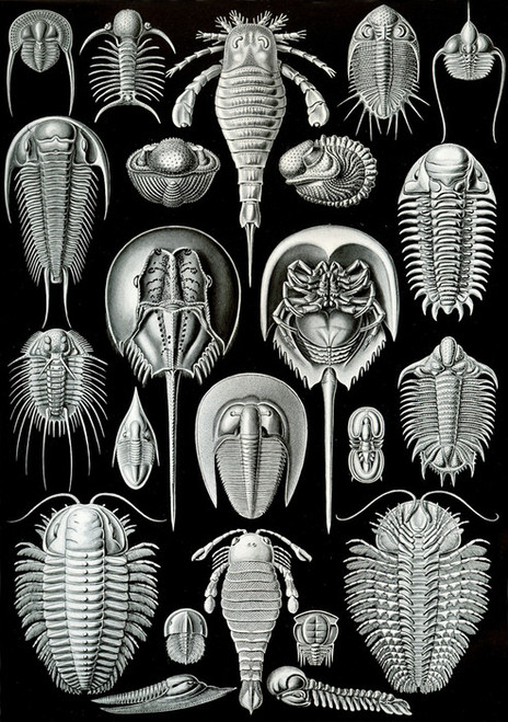 Art Prints of Aspidonia, Plate 47 by Ernest Haeckel