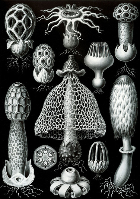 Art Prints of Basimycetes, Plate 63 by Ernest Haeckel