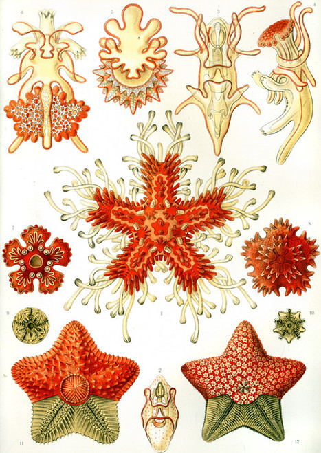 Art Prints of Asteridea, Plate 40 by Ernest Haeckel
