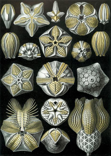 Art Prints of Blastoidea, Plate 80 by Ernest Haeckel