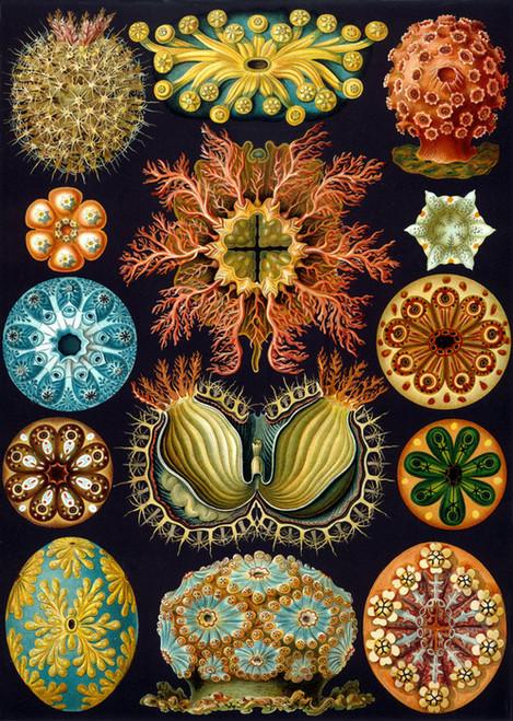 Art Prints of Ascidiae, Plate 85 by Ernest Haeckel