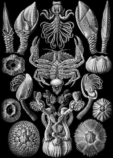 Art Prints of Cirripedia, Plate 57 by Ernest Haeckel