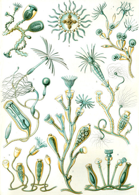Art Prints of Campanariae, Plate 45 by Ernest Haeckel