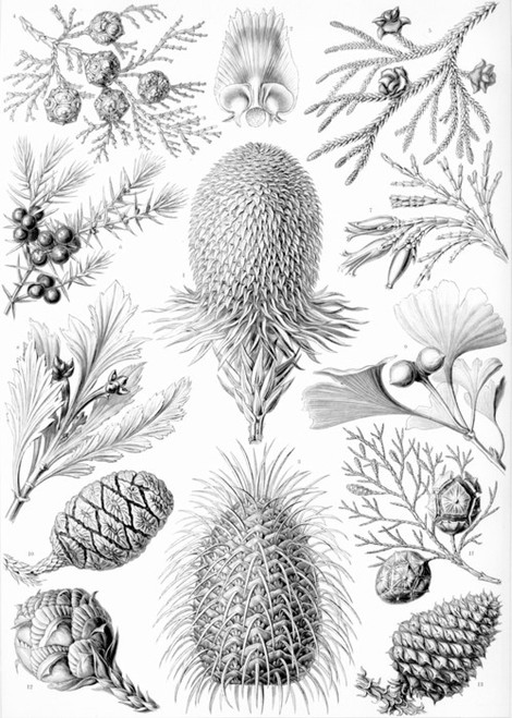 Art Prints of Coniferae, Plate 94 by Ernest Haeckel