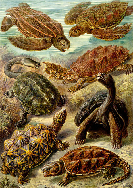 Art Prints of Chelonia, Plate 89 by Ernest Haeckel