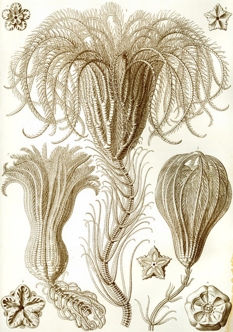 Art Prints of Crinoidea, Plate 20 by Ernest Haeckel
