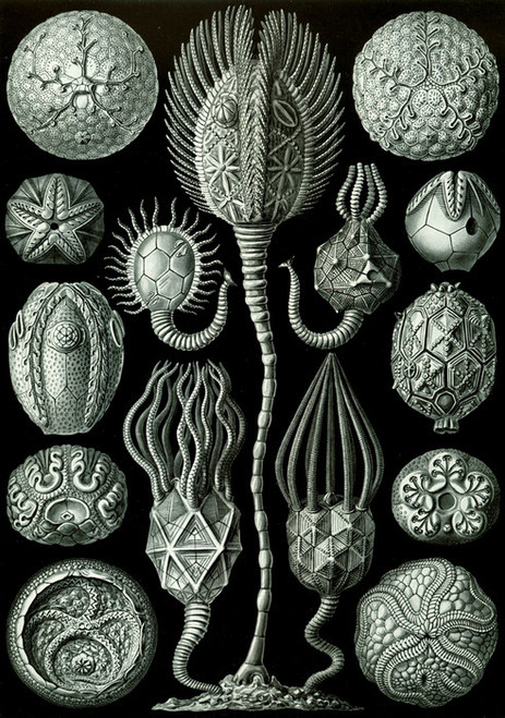 Art Prints of Cystoidea, Plate 90 by Ernest Haeckel