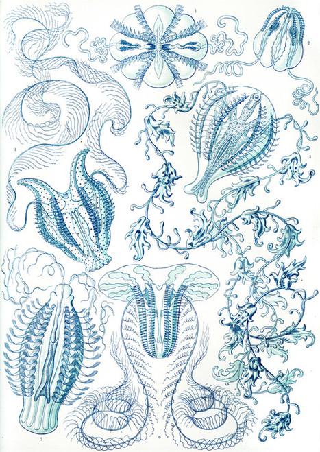 Art Prints of Ctenophorae, Plate 27 by Ernest Haeckel