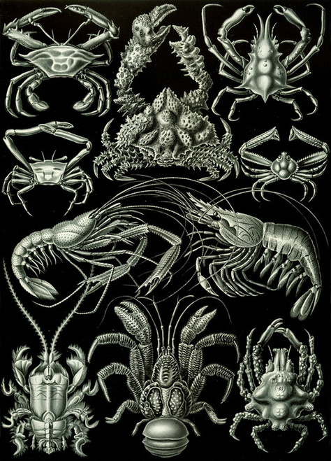 Art Prints of Decapoda, Plate 86 by Ernest Haeckel
