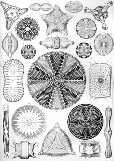 Art Prints of Diatomea, Plate 4 by Ernest Haeckel