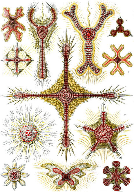 Art Prints of Discoidea, Plate 11 by Ernest Haeckel