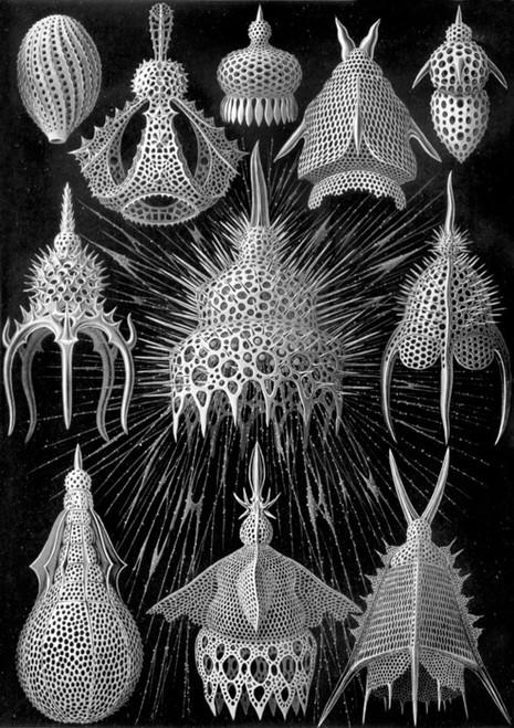 Art Prints of Cyrtoidea, Plate 31 by Ernest Haeckel