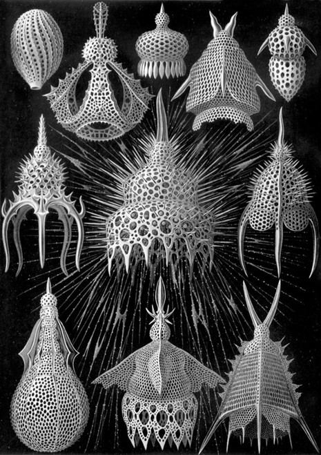Art Prints of Cyrtoidea, Plate 31 by Ernest Haeckel