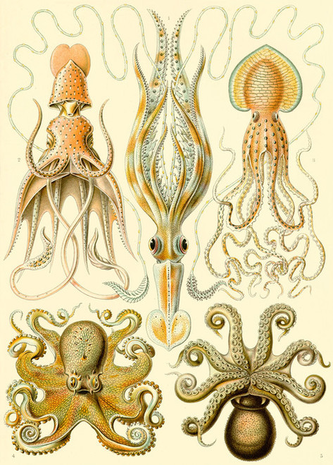 Art Prints of Gamochonia, Plate 54 by Ernest Haeckel