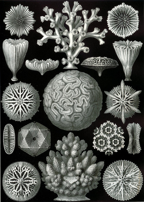 Art Prints of Hexacoralla, Plate 26 by Ernest Haeckel