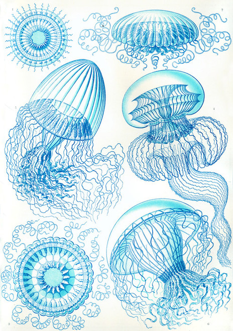 Art Prints of Leptomedusae, Plate 36 by Ernest Haeckel