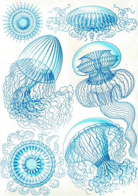 Art Prints of Leptomedusae, Plate 36 by Ernest Haeckel