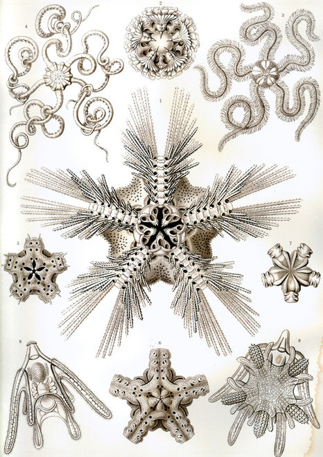 Art Prints of Ophiodea, Plate 10 by Ernest Haeckel