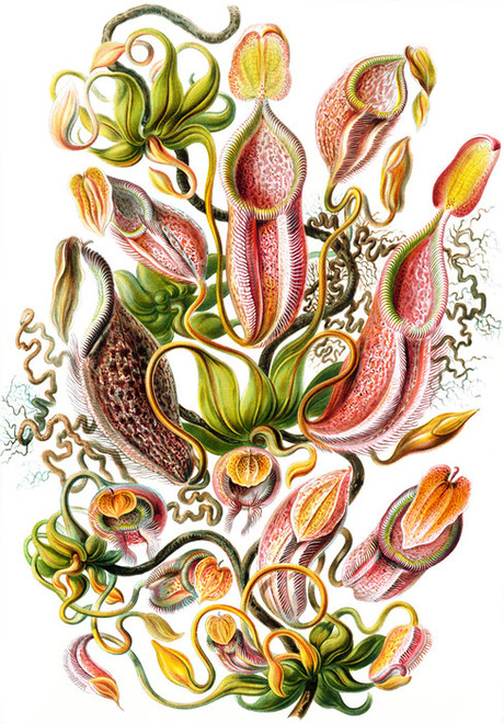 Art Prints of Nepenthaceae or Tropical Pitcher Plant, Plate 62 by Ernest Haeckel