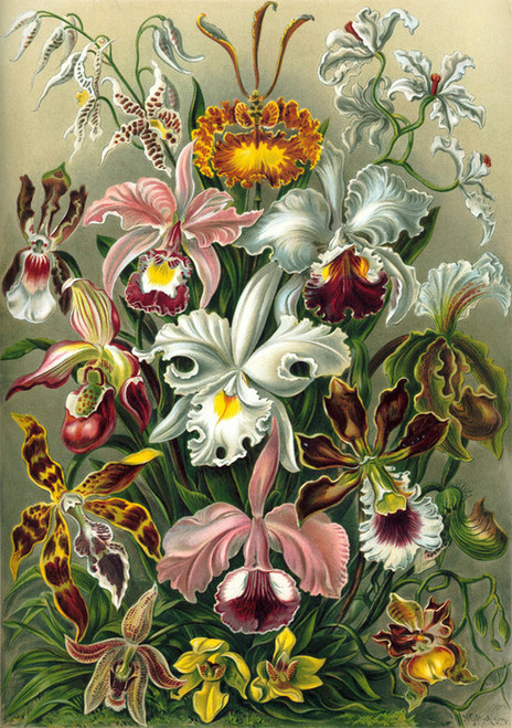 Art Prints of Orchidae or Orchid, Plate 74 by Ernest Haeckel