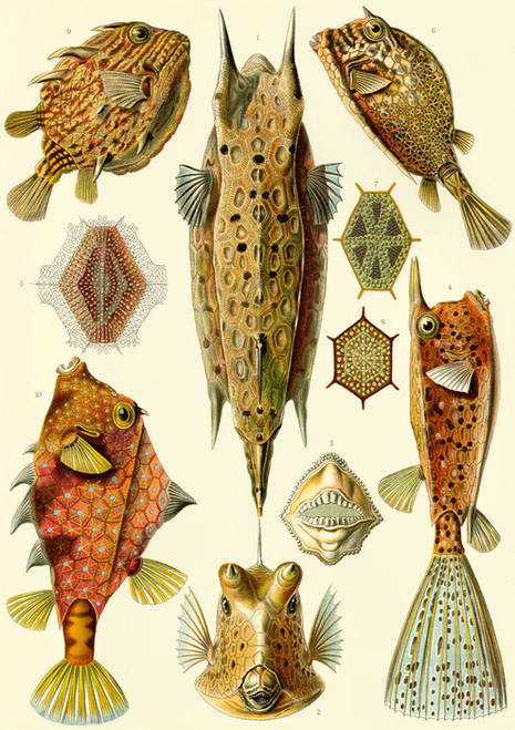 Art Prints of Ostraciontes, Plate 42 by Ernest Haeckel