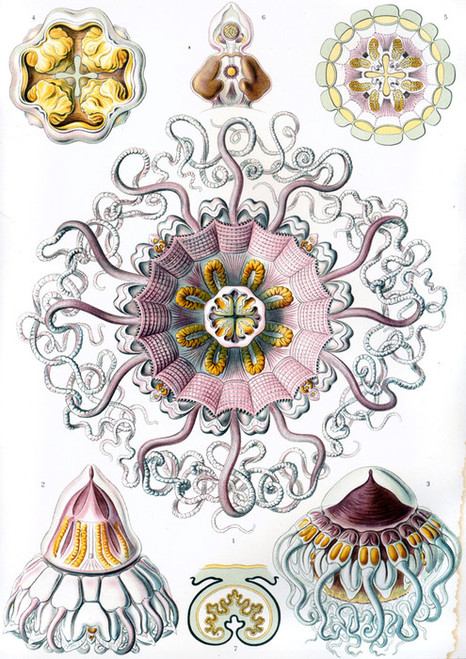 Art Prints of Peromedusae, Plate 38 by Ernest Haeckel