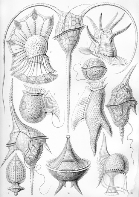 Art Prints of Peridinea, Plate 14 by Ernest Haeckel