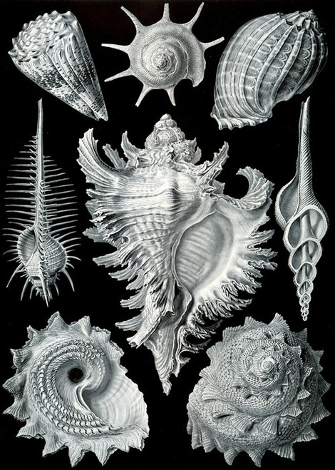 Art Prints of Prosobranchia or Snail, Plate 53 by Ernest Haeckel
