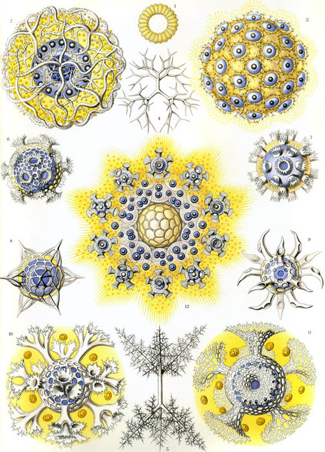 Art Prints of Polycyttaria, Plate 51 by Ernest Haeckel
