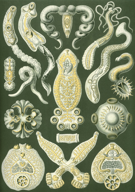 Art Prints of Platodes, Plate 75 by Ernest Haeckel