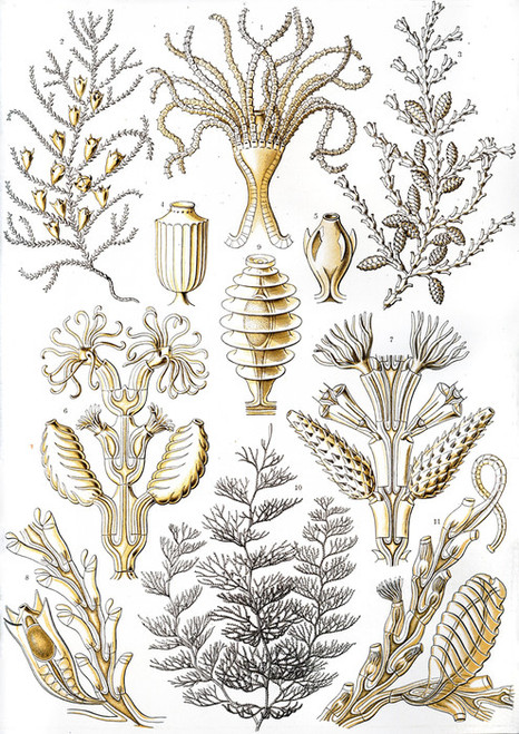 Art Prints of Sertulariae, Plate 25 by Ernest Haeckel