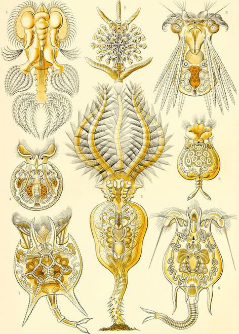Art Prints of Rotatoria, Plate 32 by Ernest Haeckel