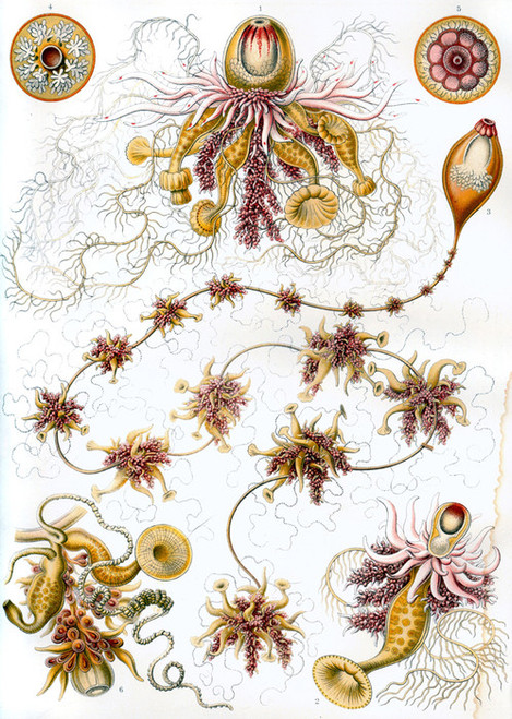Art Prints of Siphonophorae, Plate 7 by Ernest Haeckel