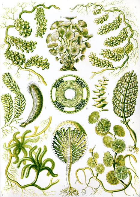 Art Prints of Siphoneae, Plate 64 by Ernest Haeckel