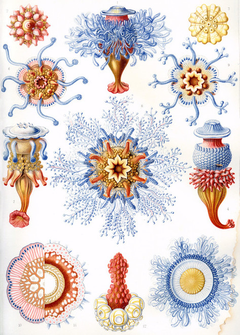 Art Prints of Siphonophorae, Plate 17 by Ernest Haeckel