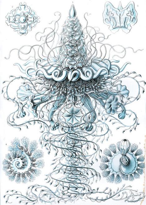 Art Prints of Siphonophorae, Plate 37 by Ernest Haeckel