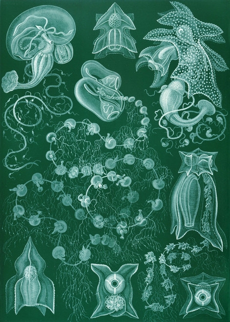 Art Prints of Siphonophorae, Plate 77 by Ernest Haeckel