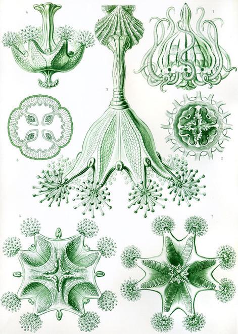 Art Prints of Stauromedusae, Plate 48 by Ernest Haeckel