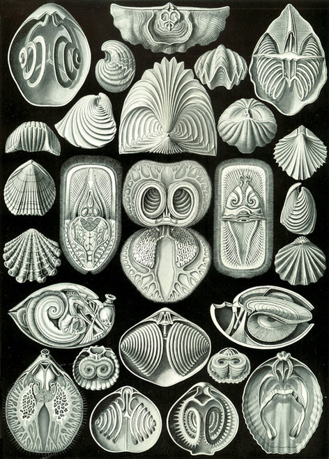 Art Prints of Spirobranchia, Plate 97 by Ernest Haeckel
