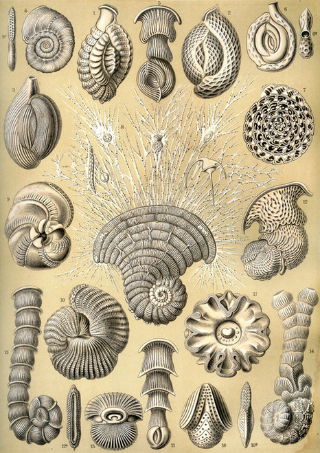 Art Prints of Thalamophora, Plate 12 by Ernest Haeckel