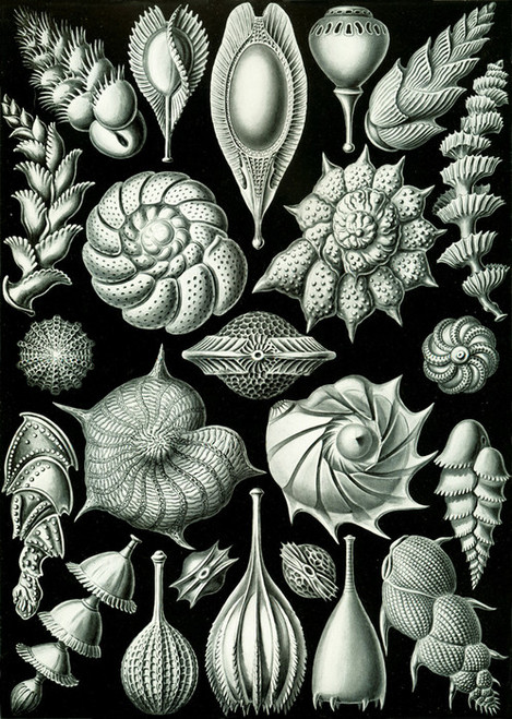 Art Prints of Thalamophora, Plate 81 by Ernest Haeckel