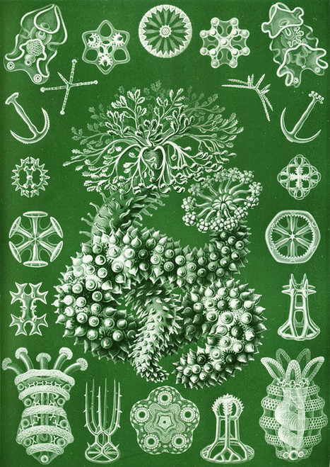 Art Prints of Thuroidea, Plate 50 by Ernest Haeckel