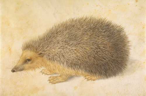 Art Prints of Hedgehog by Hans Hoffmann
